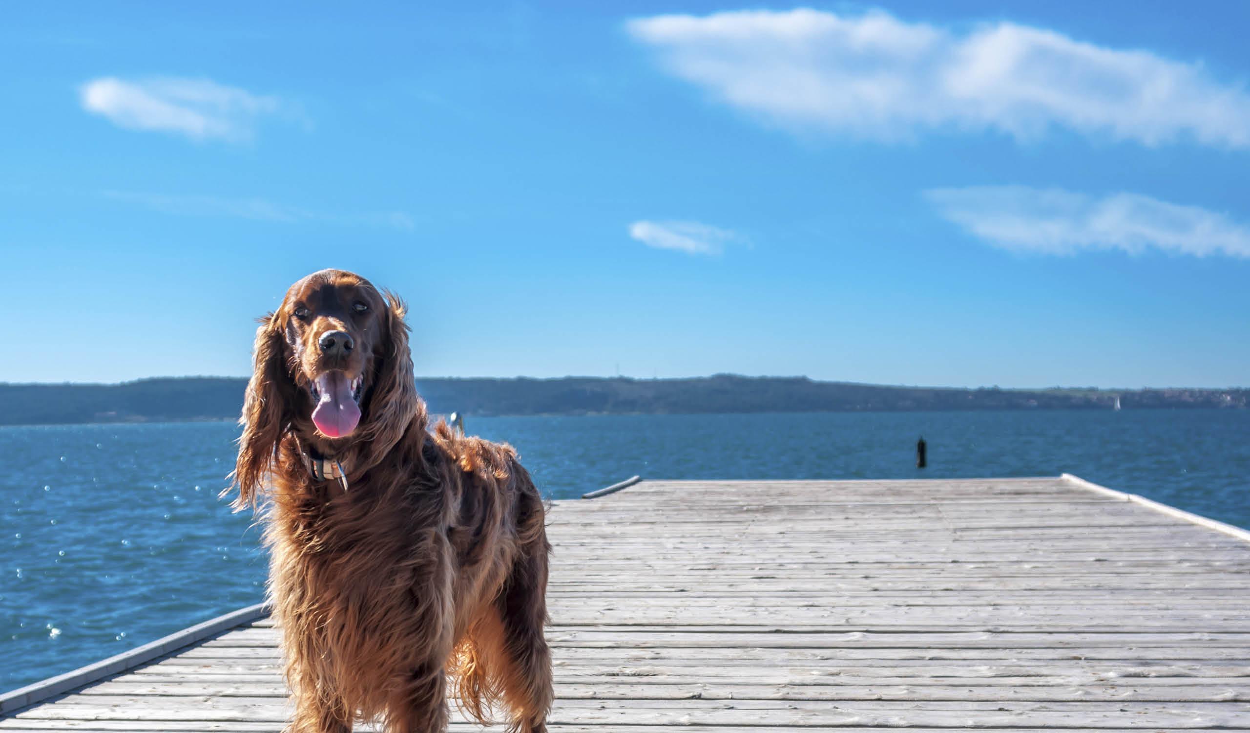 sommarhund brygga vatten