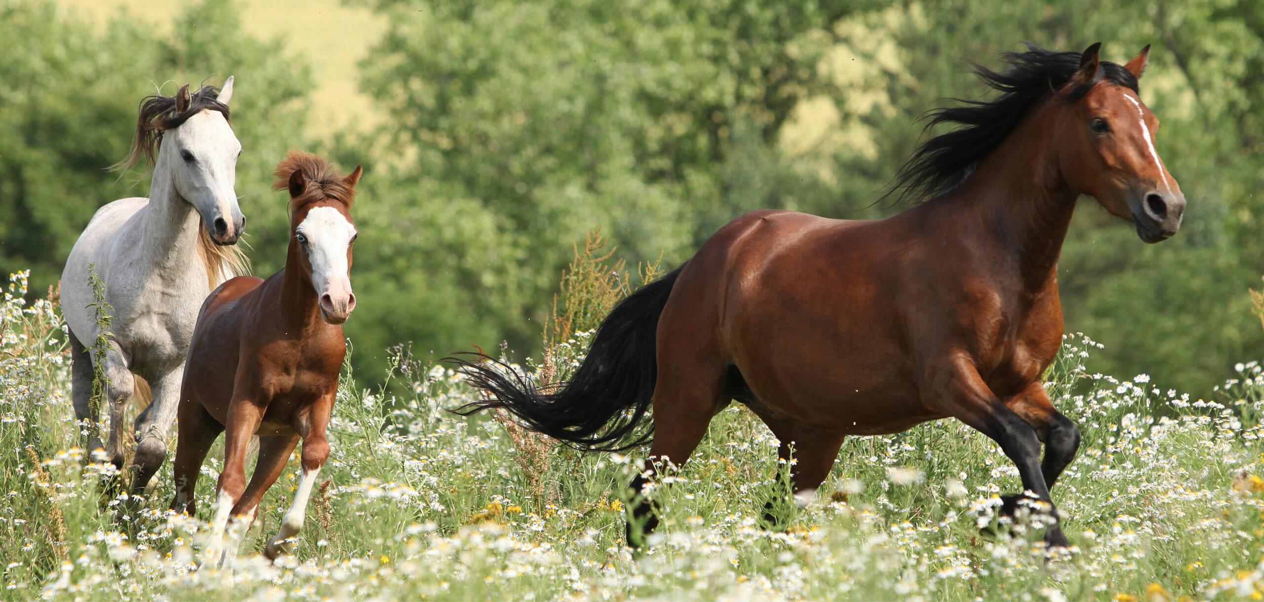 Galopperande hästar på en äng