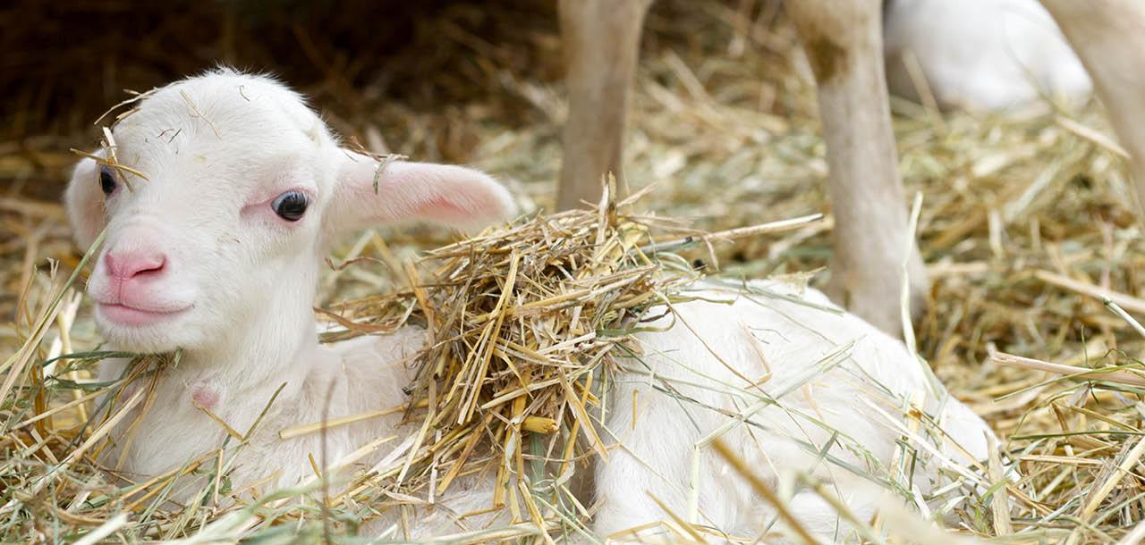 Lamm på halmbädd