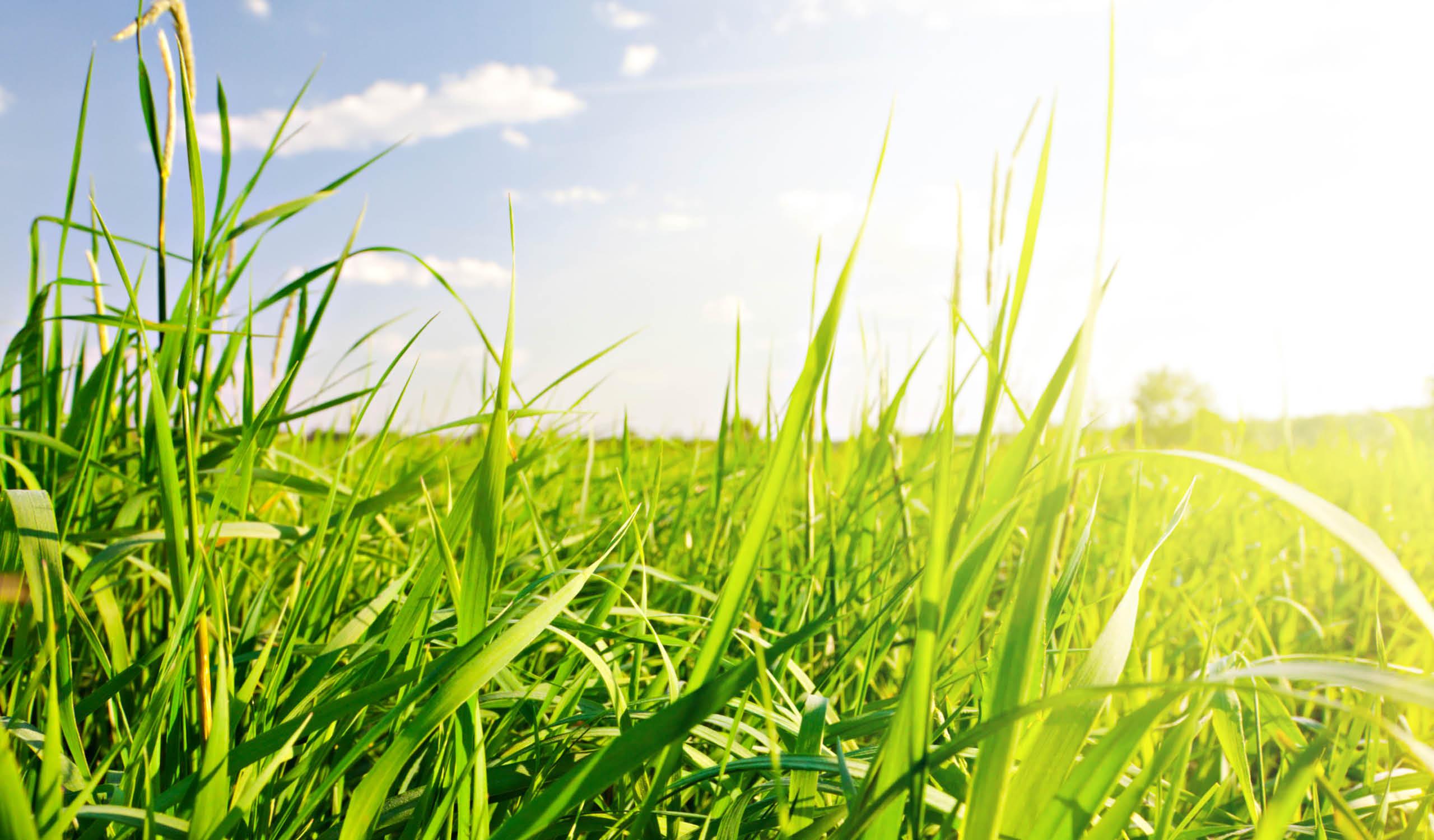Vallgräs